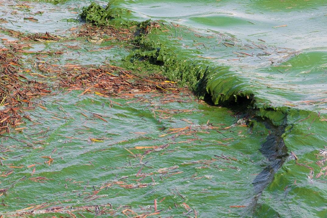 Algal (cyanobacterial) bloom