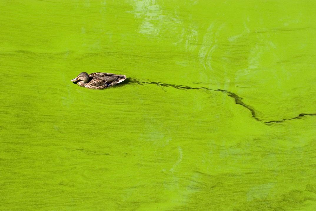 Duck in algal cyanobacterial bloom