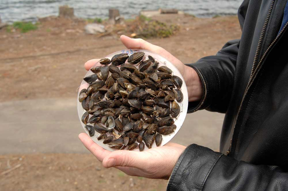 holding up zebra mussels