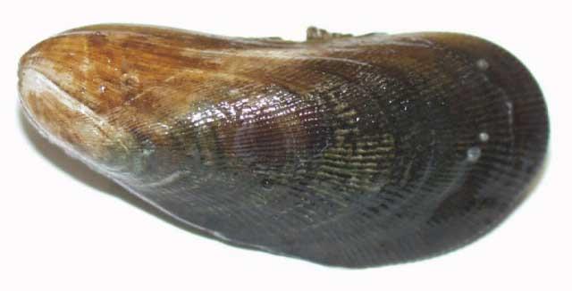 Geukensia demissa atlantic ribbed mussel