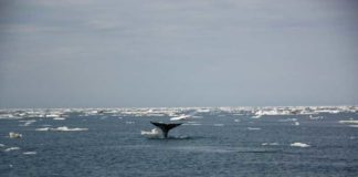 Bowhead whale in the Northwest-Passage