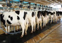 Cows-in-a-dairy-operation