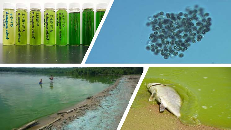 phytoplankton blooms and toxin production in downstream waterbodies