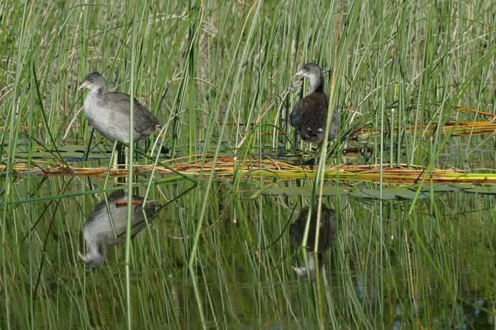 Lacombe Lake wildlife