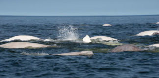 Beluga-Whales-Churchill-River