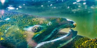 coho-salmon-image
