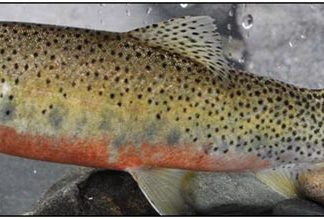 Westslope-Cutthroat-Trout