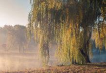 willow-tree-stock-image